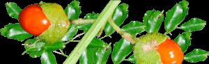 celastrus-paniculatus