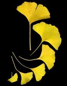 ginkgo-biloba-leaves